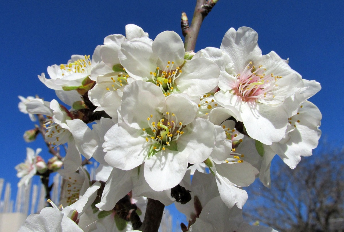 Growing An Almond Tree In The Home Landscape
