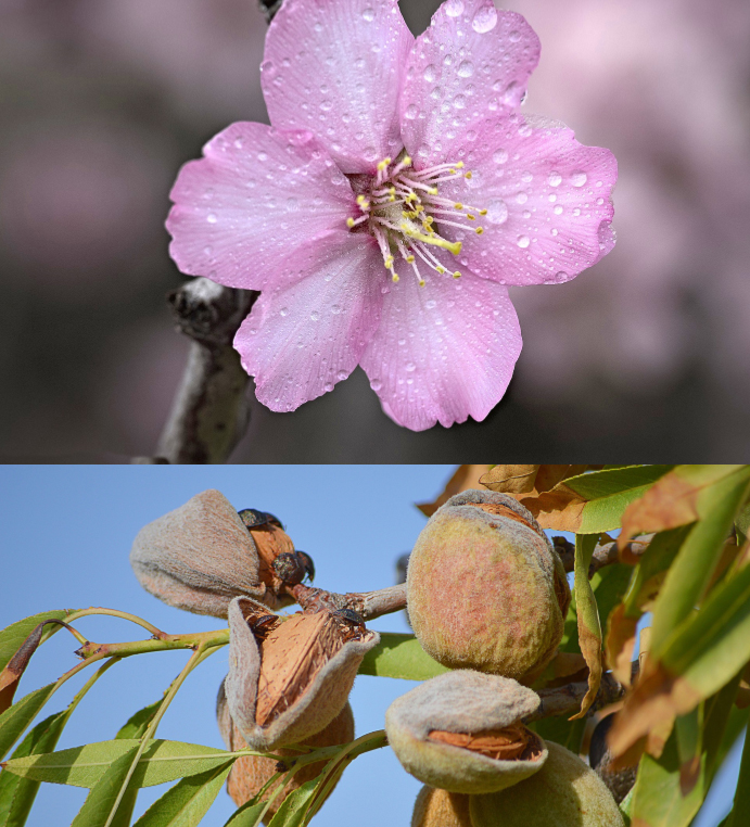Growing an almond tree - Edition 1 - Book interior - 4