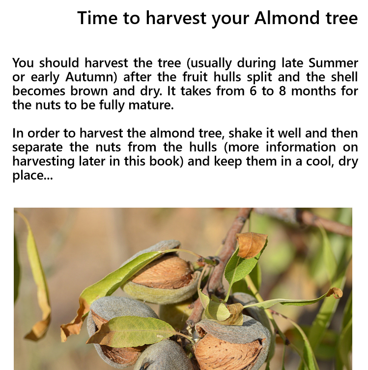 Growing an almond tree - Edition 1 - Book interior - 5